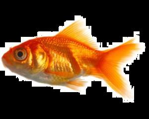 Goldfish PNG Transparent Image PNG Clip art