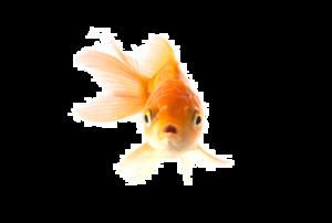 Goldfish PNG Transparent Picture PNG Clip art