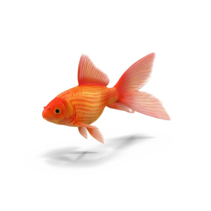 Goldfish PNG Transparent PNG Clip art