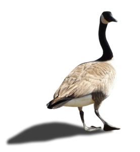 Goose PNG Image PNG Clip art