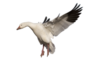 Goose PNG Pic PNG Clip art