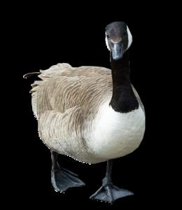 Goose PNG Transparent Image PNG Clip art