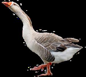 Goose Transparent Background PNG Clip art