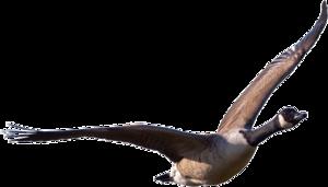 Goose Transparent PNG PNG Clip art