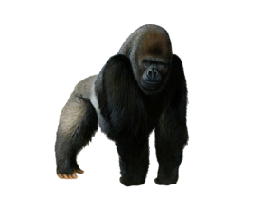 Gorilla PNG Photos PNG clipart
