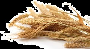 Grain PNG Transparent Picture PNG Clip art