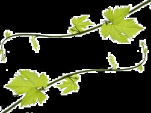 Grapevine PNG HD PNG Clip art
