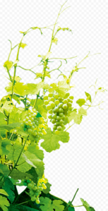 Grapevine PNG Photo PNG Clip art