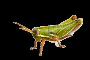 Grasshopper PNG Photo PNG Clip art