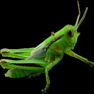 Grasshopper Transparent PNG PNG image