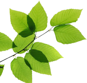 Green Leaves PNG Transparent Image PNG Clip art