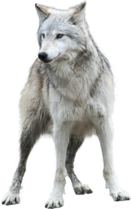 Grey Wolf PNG Clipart PNG Clip art