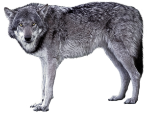 Grey Wolf PNG Image PNG Clip art