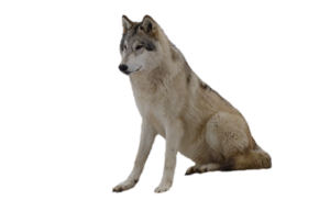 Grey Wolf PNG Photos PNG Clip art