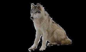 Grey Wolf PNG Photos PNG Clip art