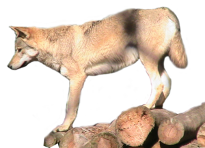 Grey Wolf PNG Transparent Image PNG Clip art