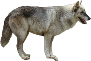 Grey Wolf Transparent PNG PNG Clip art