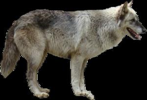 Grey Wolf Transparent PNG PNG Clip art