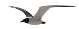 Gulls Download PNG Image PNG Clip art