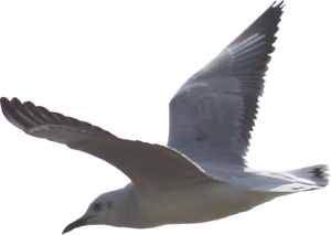 Gulls PNG Background Image PNG Clip art