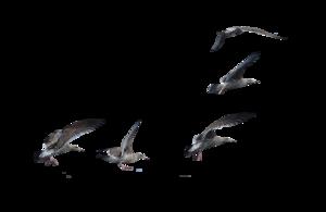 Gulls PNG Clipart PNG Clip art
