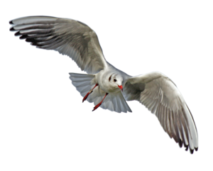 Gulls PNG File PNG Clip art