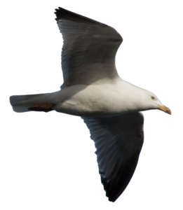 Gulls PNG Free Download PNG Clip art