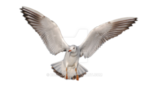 Gulls PNG HD PNG Clip art