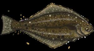 Halibut PNG Image PNG Clip art
