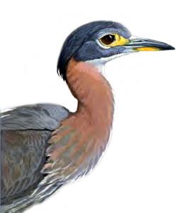 Heron PNG Picture PNG Clip art