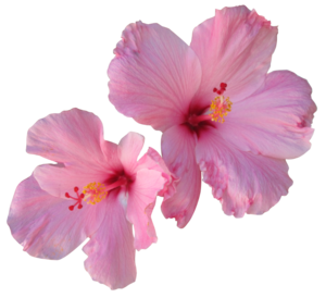 Hibiscus PNG Free Download PNG Clip art