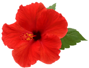 Hibiscus PNG Picture PNG Clip art