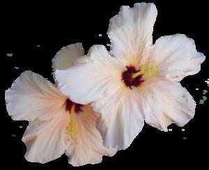 Hibiscus PNG Transparent Image PNG Clip art
