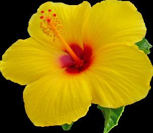 Hibiscus Transparent Background PNG Clip art