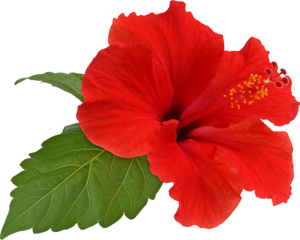 Hibiscus Transparent PNG PNG Clip art