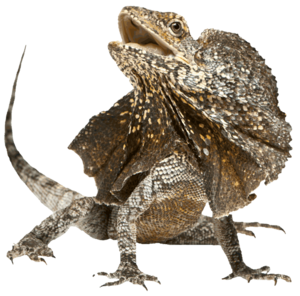 Horned Lizard Transparent PNG PNG Clip art