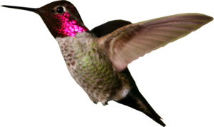 Hummingbird PNG Photo PNG Clip art