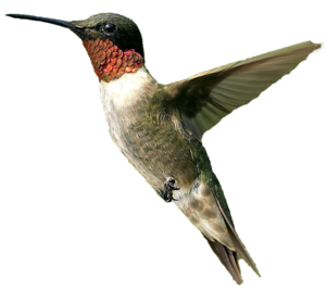 Hummingbird PNG Photos PNG Clip art