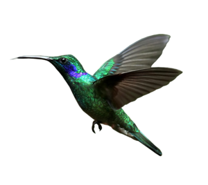 Hummingbird Transparent Background PNG clipart