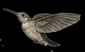 Hummingbird Transparent Images PNG PNG Clip art