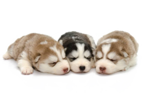 Husky PNG Background PNG icon