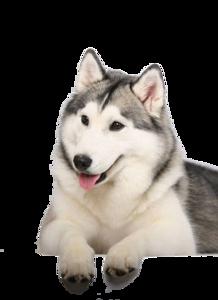 Husky PNG Clipart Background PNG Clip art