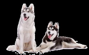 Husky PNG Download Image PNG Clip art