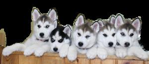 Husky PNG File Download Free PNG Clip art