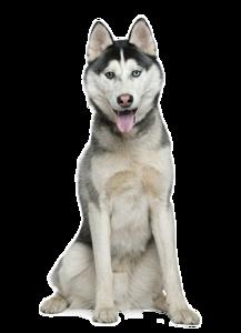 Husky PNG File PNG Clip art