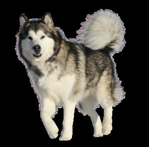 Husky PNG HD Quality PNG Clip art