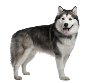 Husky PNG Image Free Download PNG icon