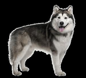 Husky PNG Image Free Download PNG Clip art
