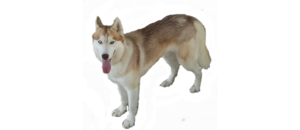Husky PNG No Background PNG Clip art