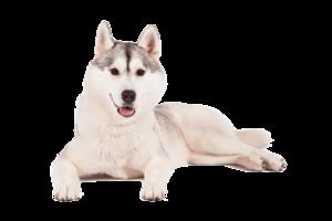 Husky PNG Transparent Background PNG Clip art